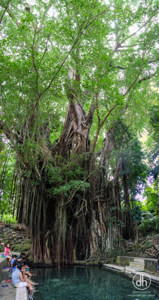 Siquijor - Heiliger Baum