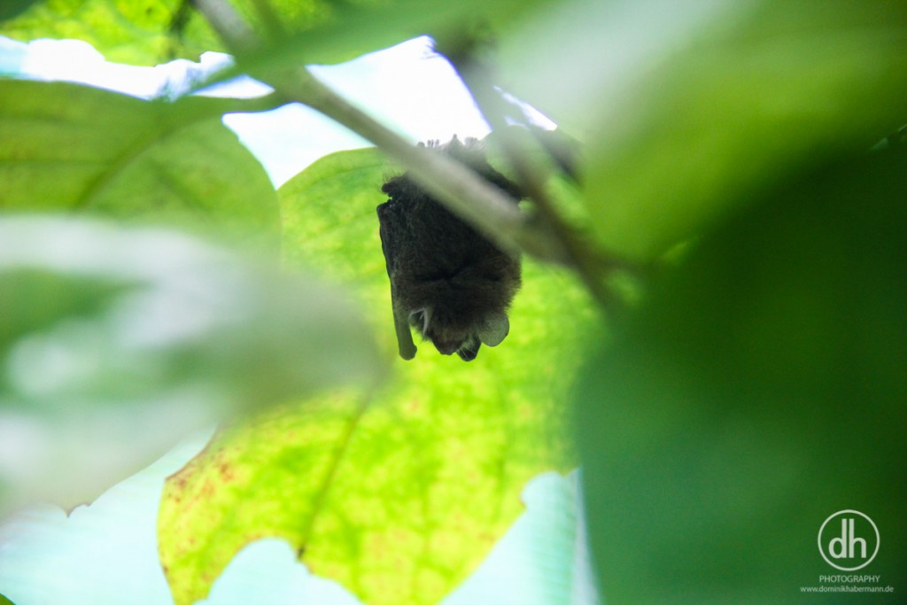 Siquijor - Butterflyfarm - Fledermaus